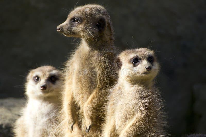 tailed spensligt för meerkats royaltyfri bild