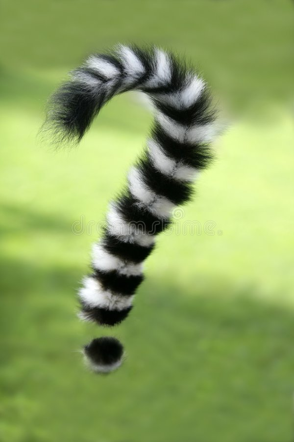 tailed svan för cirkel för fråga för lemurmadagascar fläck arkivfoto