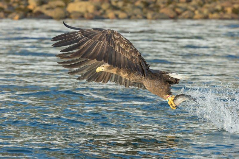 tailed white för örn jakt royaltyfri fotografi