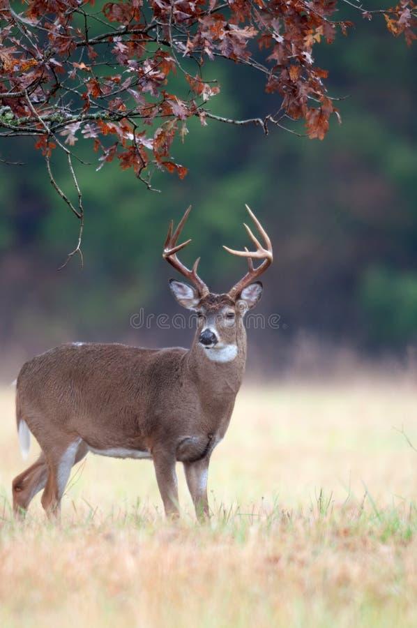 tailed white för uppförandebockhjortar brunst royaltyfri fotografi