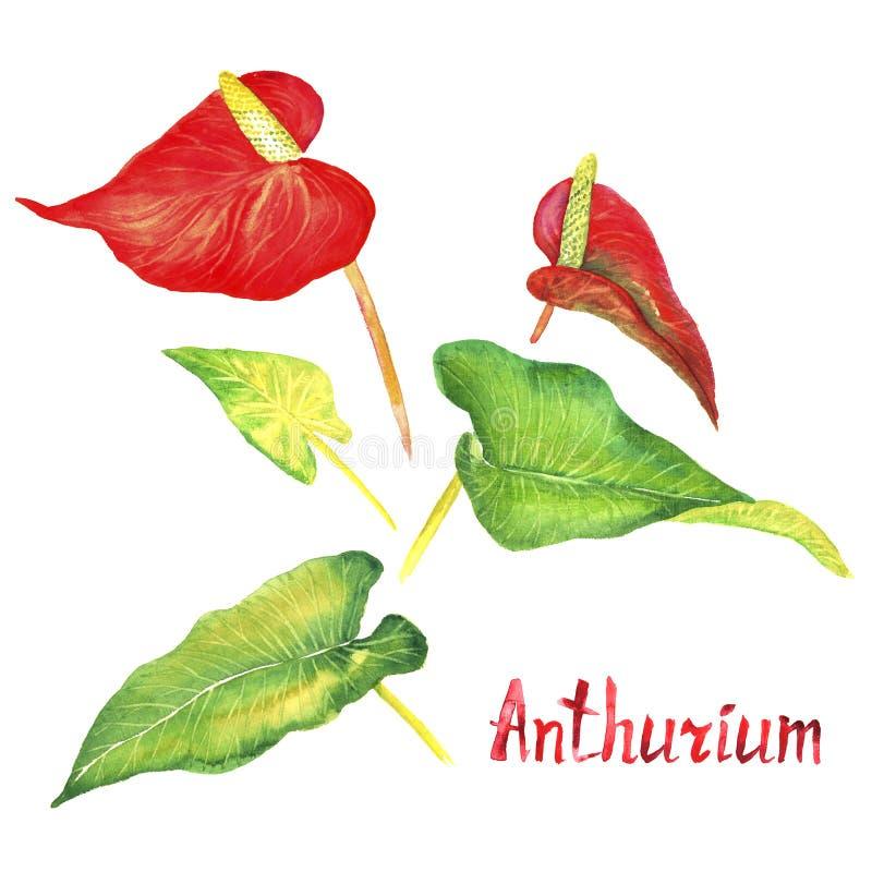 Tailflower антуриума, цветок фламинго, цветки laceleaf красные и яркие ые-зелен листья изолировали набор, руку покрашенная акваре иллюстрация штока