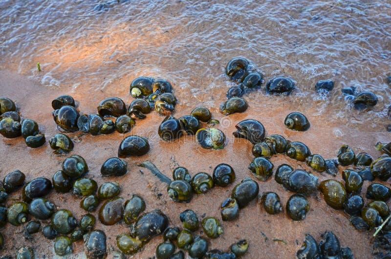 Tailles de variété des applesnails d'or d'eau douce sur le sable image stock