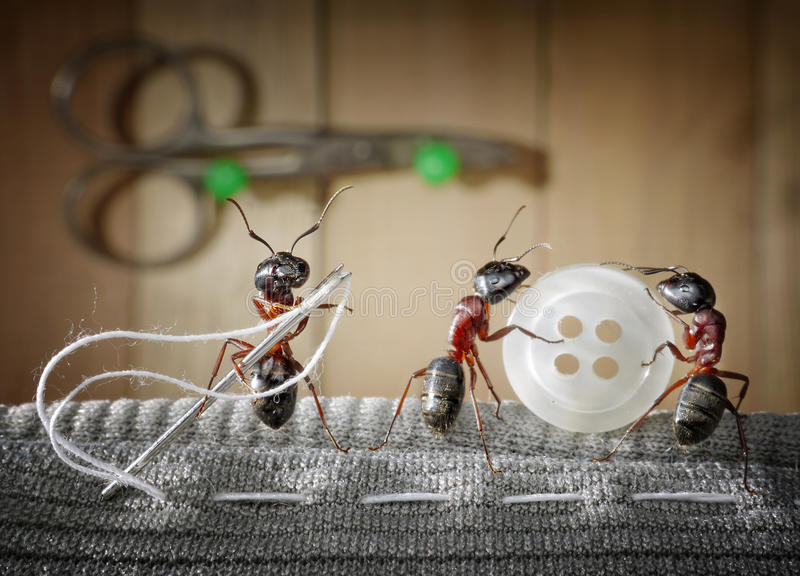 Tailor ant and team of ants sewing wear, teamwork stock images