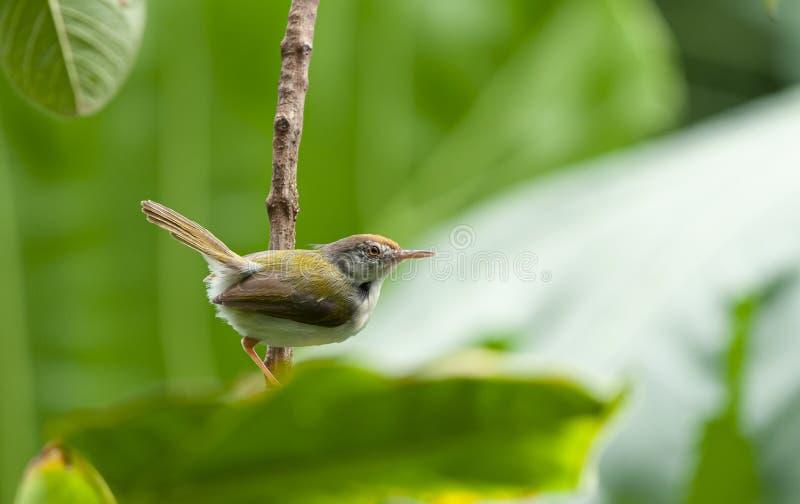 Tailor Bird arkivbilder