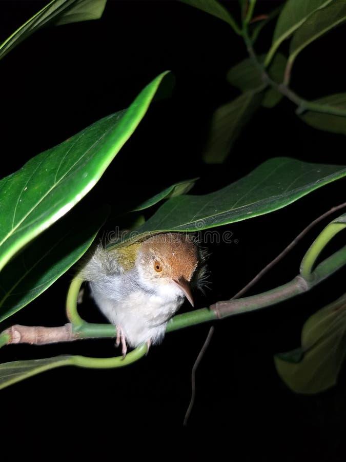 Tailorbird royalty-vrije stock afbeeldingen
