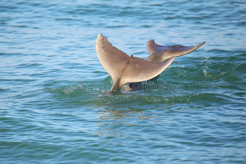 Tails of diving Common bottlenose dolphins. Near Sanibel island in Florida royalty free stock photography