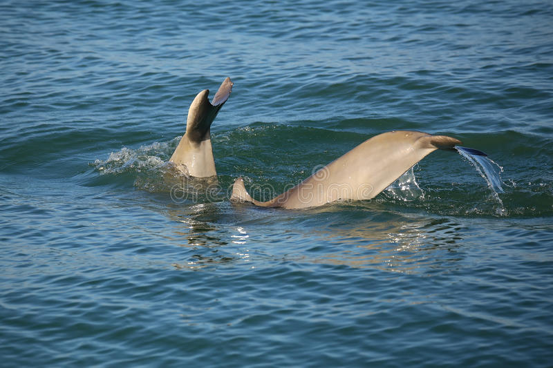Tails of diving Common bottlenose dolphins. Near Sanibel island in Florida royalty free stock photos