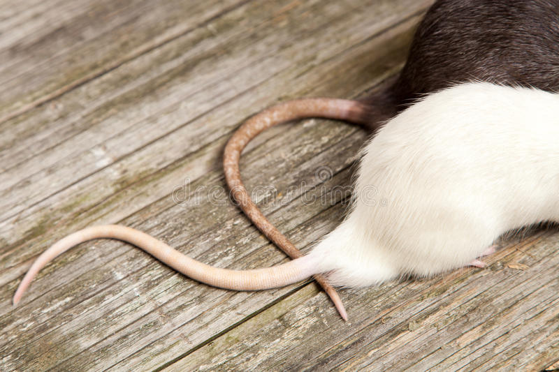 Tails of rats on a wooden table royalty free stock photo