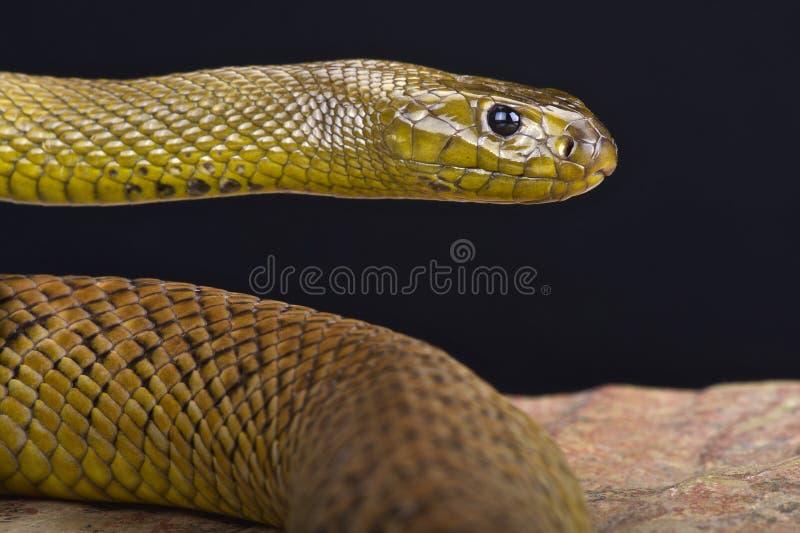 Taipan interno (microlepidotus del Oxyuranus) fotografia stock libera da diritti
