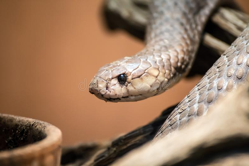 Taipan portrait, Oxyuranus, one of the most venomous and deadly snakes in the world royalty free stock photos