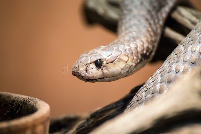 Taipanportret, Oxyuranus, één van de meest giftige en dodelijke slangen in de wereld royalty-vrije stock foto's