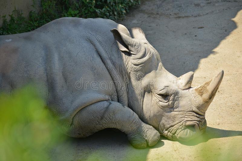 White rhino. Taipei zoo , taiwan : Close up of a White rhino stock photo
