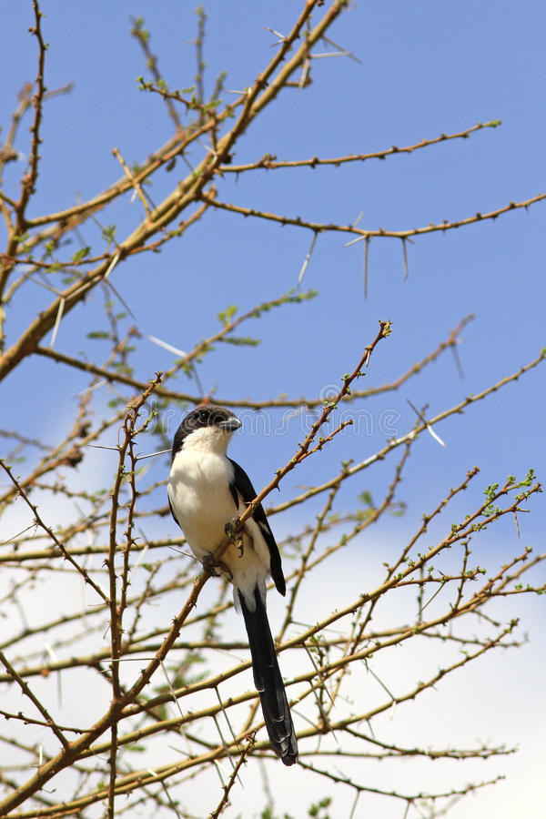 Taita Fiscal Lanius dorsalis. The adult Taita fiscal sits on a branch against the background of the blue sky stock photo