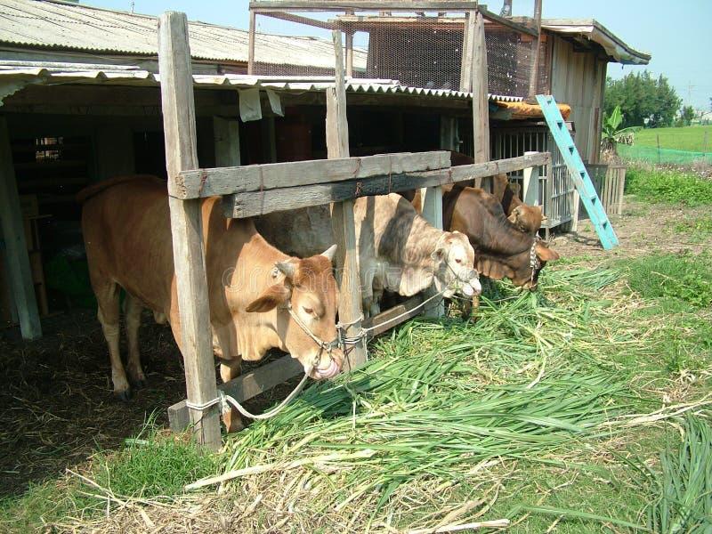 Download Taiwan cattle stock image. Image of taiwan, earth, buffalo - 16135233
