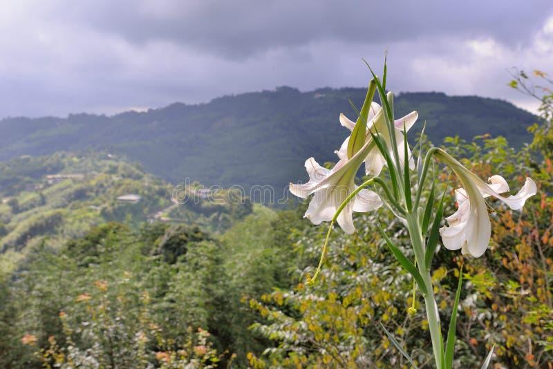 Taiwan lilja arkivbilder