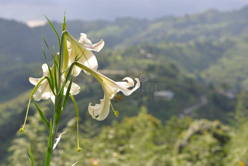 Taiwan lilja arkivbild