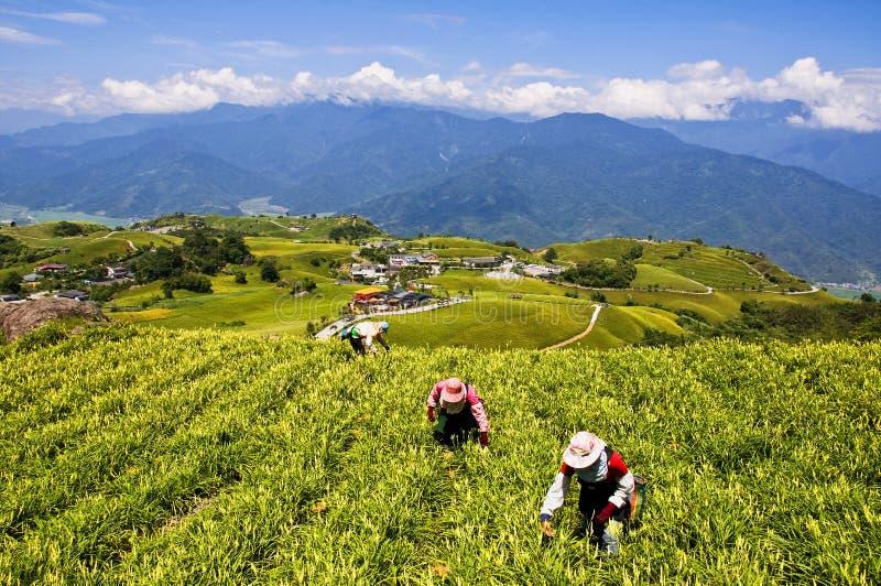 Taiwan Liushidanshan som bryter liljor royaltyfri bild