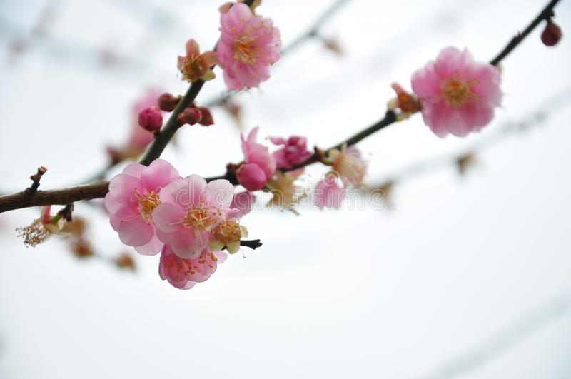 Taiwan plum blossom. Plum blossom in Miaoli city and county in northwest Taiwan royalty free stock image