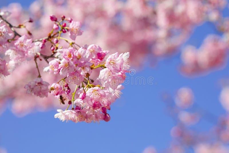Taiwan säsong för körsbärsröd blomning, tusen körsbärsröda trädgård, bin som samlar nektar fotografering för bildbyråer