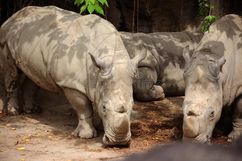 Taiwan Taipei, City Zoo, Grey Rhino from Africa, eating royalty free stock image