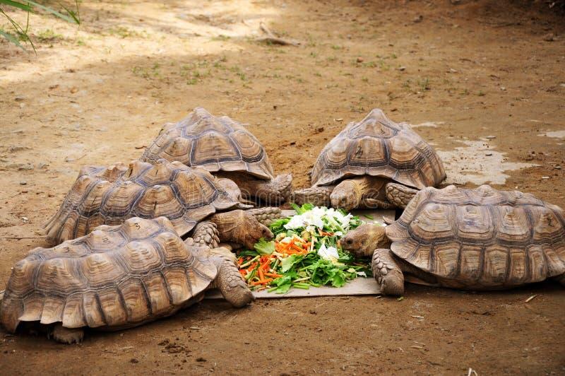 Taiwan Taipei, stadszoo, stor sköldpadda, vegetariska djur som äter grönsaker royaltyfri foto