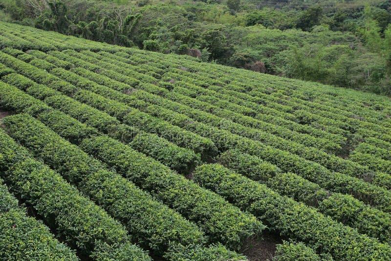 Taiwan-Tee lizenzfreie stockfotografie