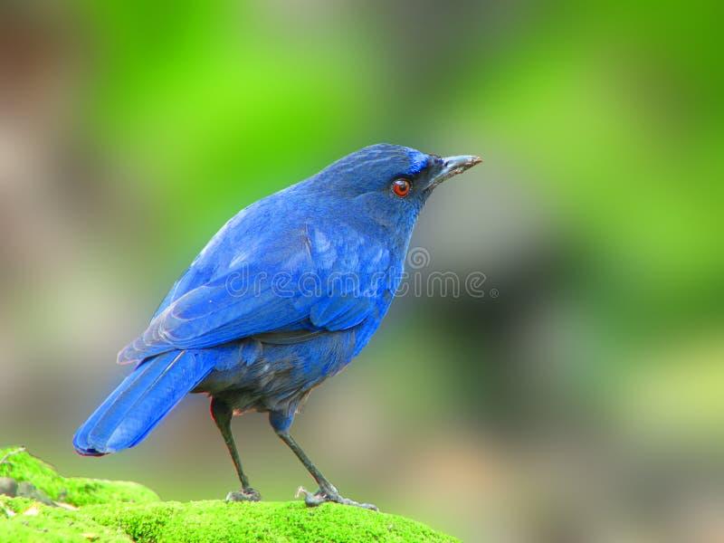 Taiwan Whistling Thrush a blue bird stock photos