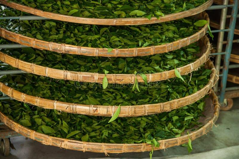 Taiwans Chiayi-Stadt, langes Misato-Gebiet von TeeArbeitern h?ngen Oolong-Tee (ersten Prozess des Tees: trocknen Sie Tee) lizenzfreie stockbilder