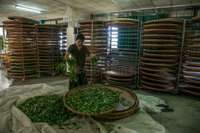Taiwans Chiayi-Stadt, langes Misato-Gebiet von TeeArbeitern h?ngen Oolong-Tee (ersten Prozess des Tees: trocknen Sie Tee) stockbilder