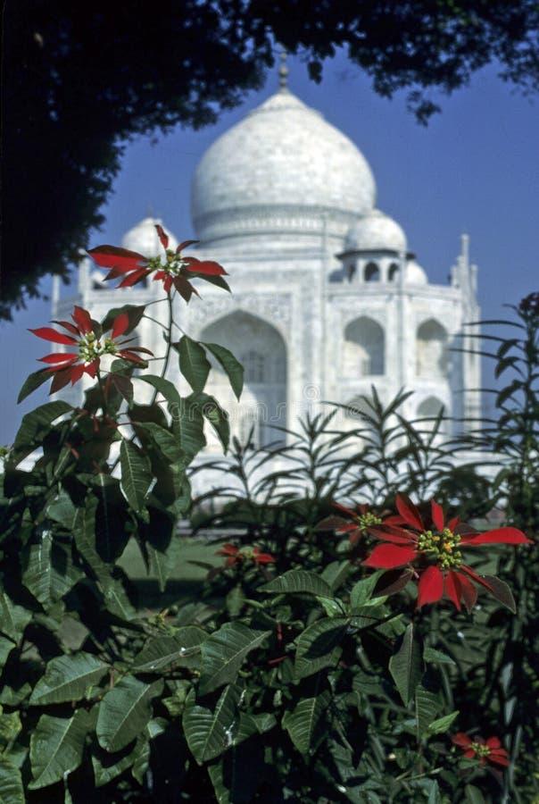 Taj Mahal, encadré par des pointsettias, photo libre de droits