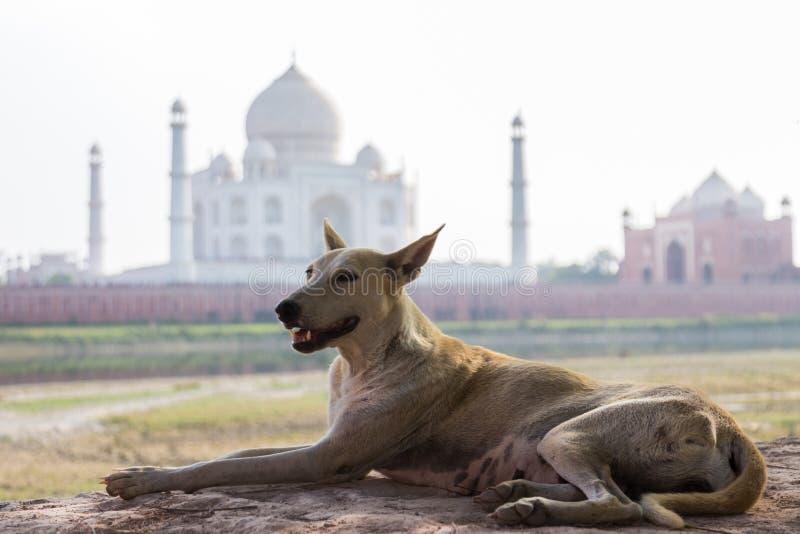 Taj Mahal hund arkivbilder