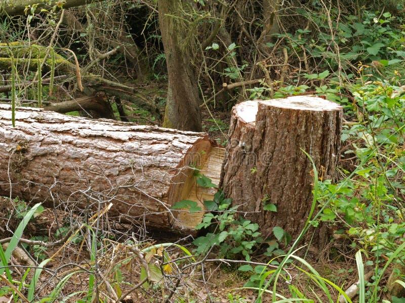 Tajado abajo de árbol. imágenes de archivo libres de regalías