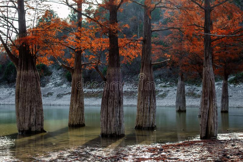 Tajemniczej czerwonej cyprysowego drzewa drewnianej jesieni piękna sceneria Sukko jeziora dy Anapa, Rosja, Kaukaz zdjęcie stock