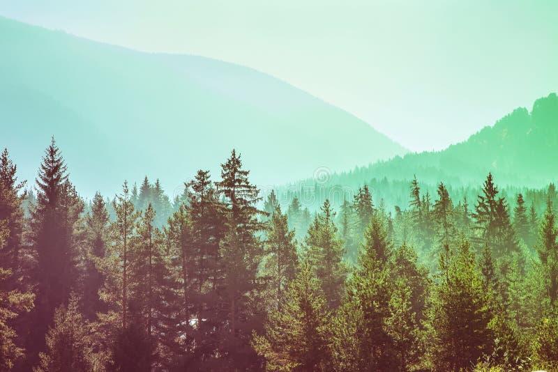 Tajemniczej mglistej sosny projekta lasowy szablon zdjęcia stock