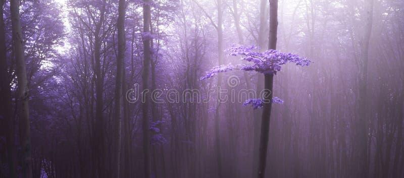 Tajemniczy światło nad drzewem w purpurowej mgle w lesie fotografia stock