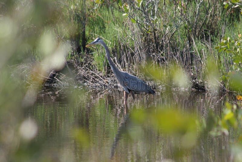 tajemniczy heron niebieski obraz royalty free