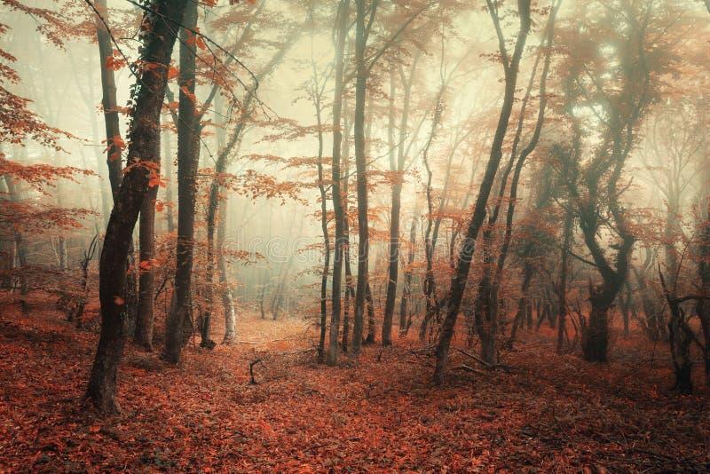 Tajemniczy jesień las w mgle z czerwieni i pomarańcze liśćmi obrazy royalty free