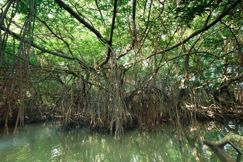 Tajemniczy krajobraz namorzynowy las tropikalny Sri Lanka obrazy royalty free