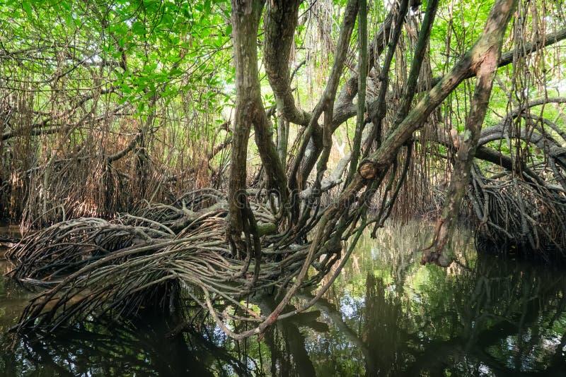 Tajemniczy krajobraz namorzynowy las tropikalny Sri Lanka obraz stock