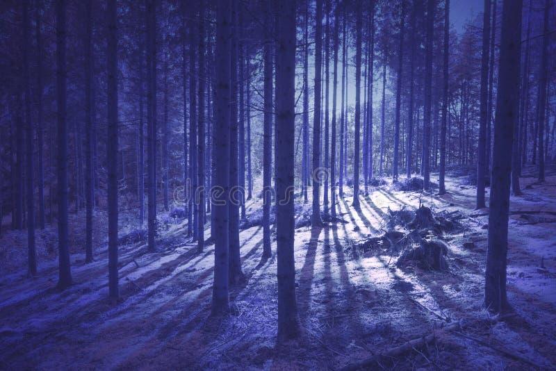 Tajemniczy purpurowy barwiony lasowego drzewa krajobraz zdjęcie royalty free