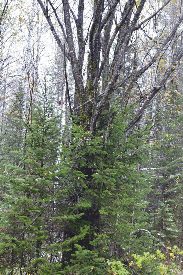 Tajemniczy, Stary antyczny drzewo w sosnowym lasowym Rosja, obraz royalty free