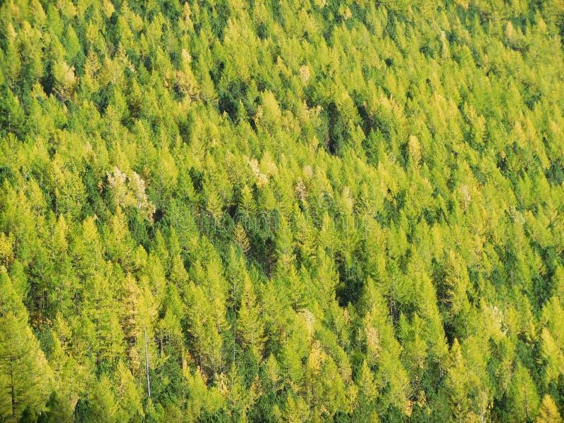 tajga iglasty dziki las w Syberia, Altai góry obrazy stock
