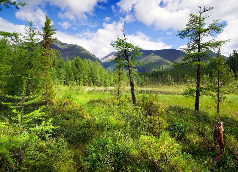 Tajga w sayan górach fotografia royalty free