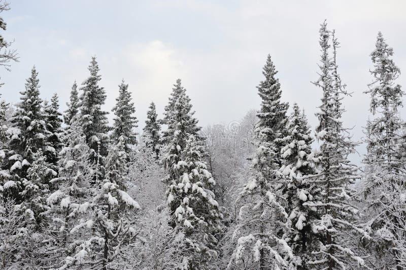 Tajga w wczesnej zimie zdjęcia royalty free