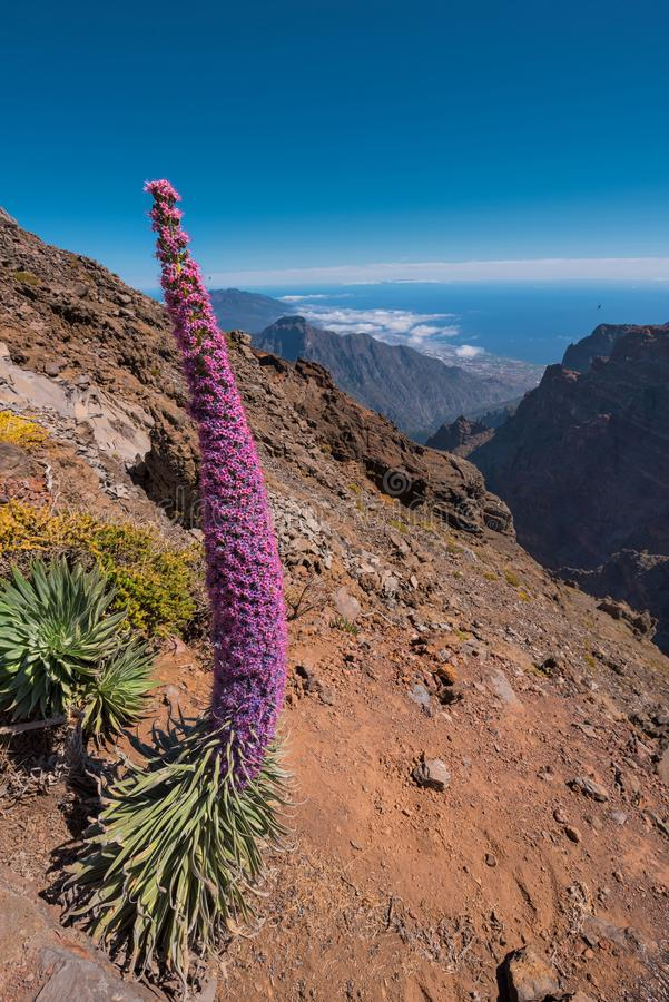 Tajinaste endemic plant, in Roque de los muchachos, highest peak of la Palma island, Canary island, Spain. Tajinaste endemic plant, in Roque de los muchachos royalty free stock photo