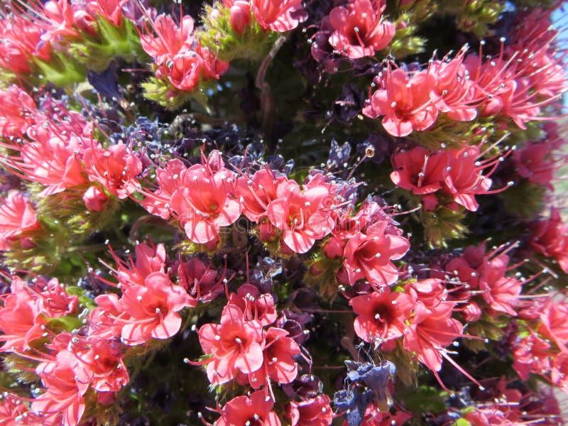 Tajinaste rojo del Teide royalty free stock images