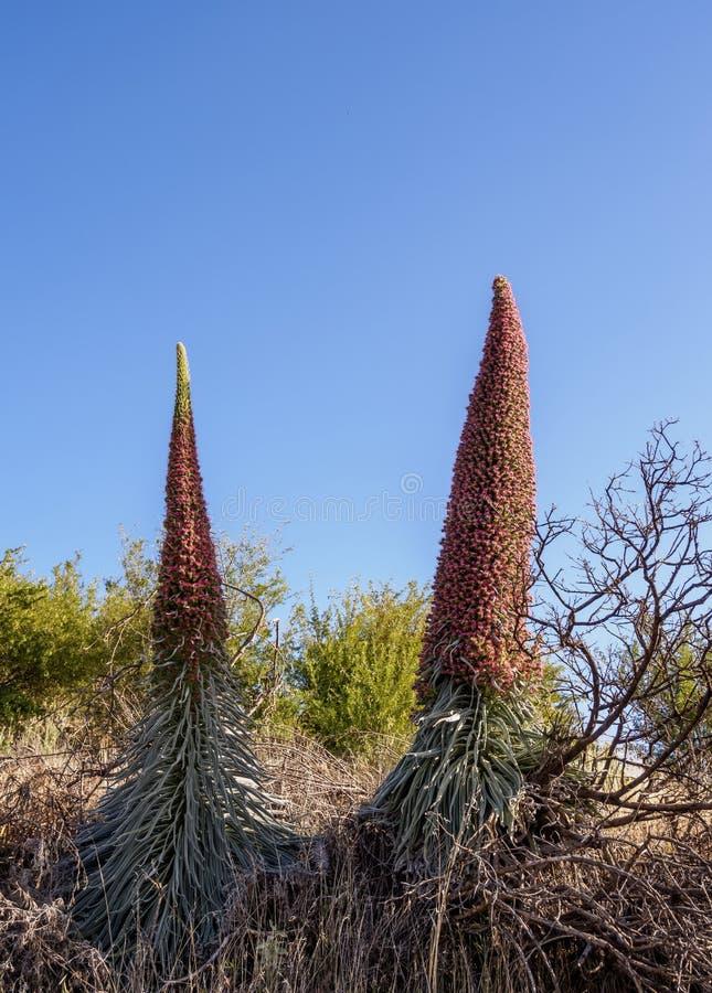 Tajinaste Rojo on Tenerife Island, Canary Islands stock image