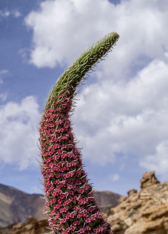 Tajinaste Rojo on Tenerife Island, Canary Islands royalty free stock photography