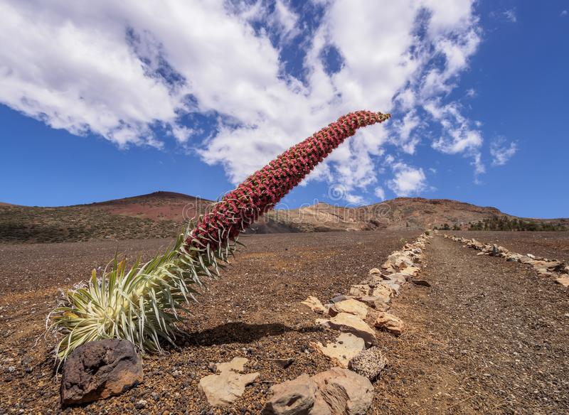 Tajinaste Rojo on Tenerife Island, Canary Islands royalty free stock images