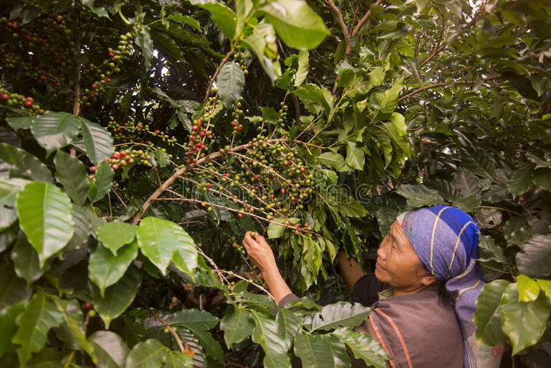 TAJLANDIA CHIANG RAJA MAE SALONG KAWOWA plantacja obrazy stock
